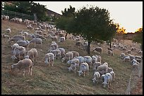 Herd of sheep, Silver Creek. San Jose, California, USA ( color)