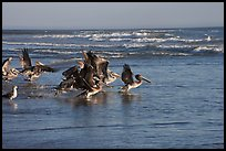 Pelicans, Scott Creek Beach. California, USA (color)