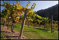 Savannah-Chanelle Vineyards, Santa Cruz Mountains. California, USA ( color)