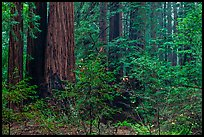 Lush redwood forest. Muir Woods National Monument, California, USA (color)