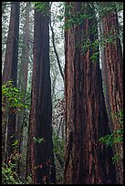 Tall redwood trees in fog. Muir Woods National Monument, California, USA ( color)