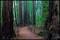 Trail through Cathedral Grove. Muir Woods National Monument, California, USA ( color)