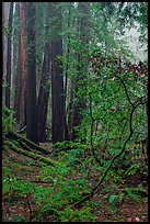 Fog. Muir Woods National Monument, California, USA ( color)