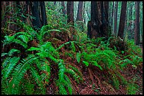 Ferns and redwood trees. Muir Woods National Monument, California, USA ( color)