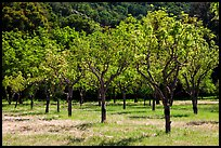 Orchard in spring, John Muir National Historic Site. Martinez, California, USA ( color)