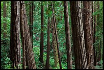 Redwood forest on hillside. Muir Woods National Monument, California, USA ( color)