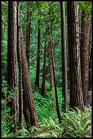Redwood trees on hillside. Muir Woods National Monument, California, USA (color)