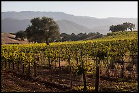 Vineyards, Santa Barbara Wine country. California, USA ( color)