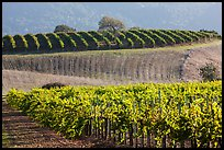 Rolling hills and Vineyards, Santa Barbara Wine country. California, USA ( color)