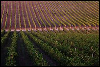 Rows of wine grapes, Santa Barbara Wine country. California, USA ( color)