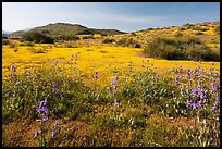 Spring wildflowers on hills. Carrizo Plain National Monument, California, USA ( color)