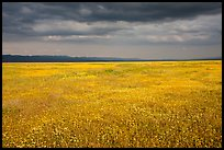 Grassland in bloom under dark sky. Carrizo Plain National Monument, California, USA ( color)