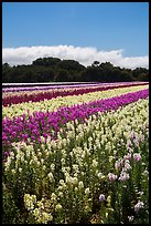 Commercial flower field. Lompoc, California, USA ( color)
