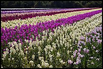 Field with rows of flowers. Lompoc, California, USA ( color)