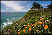 Poppies and motel rooms overlooking Pacific Ocean, Lucia. Big Sur, California, USA ( color)