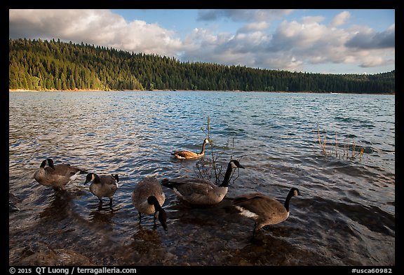 Geese, Jenkinson Lake. California, USA (color)