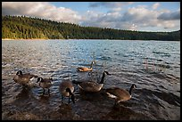 Geese, Jenkinson Lake. California, USA ( color)