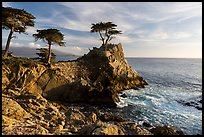 Monterey cypress on granite cliff. Pebble Beach, California, USA ( color)