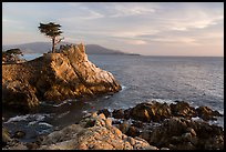 Salt-pruned Monterey cypress (macrocarpa) tree. Pebble Beach, California, USA ( color)