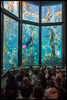 Tourists watch scuba diver feed fish in kelp forest tank. Monterey, California, USA ( color)