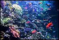 Coral and tropical fish, Monterey Bay Aquarium. Monterey, California, USA ( color)