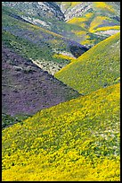 Intersecting ridges of wildflowers-covered hills, Temblor Range. Carrizo Plain National Monument, California, USA ( color)