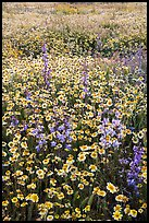 Mat of tidytips and larkspur flowers. Carrizo Plain National Monument, California, USA ( color)