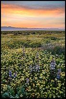 Sunrise over carpet of spring wildflowers. Carrizo Plain National Monument, California, USA ( )