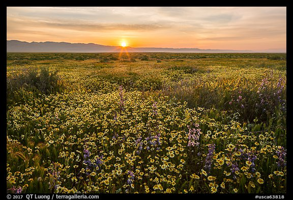 Sun rising over endless flowers. Carrizo Plain National Monument, California, USA (color)