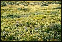 Flower carpet. Carrizo Plain National Monument, California, USA ( )