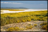 Wildflowers and salt bed bordering Soda Lake. Carrizo Plain National Monument, California, USA ( color)