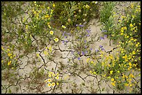 Close-up of tidytips, hillside daisies, phacelia, and mud cracks. Carrizo Plain National Monument, California, USA ( color)