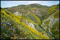 Phacelia, poppies, goldfields, Temblor Range hills. Carrizo Plain National Monument, California, USA ( )