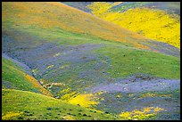 Multicolored mosaic of wildflowers on hill. Carrizo Plain National Monument, California, USA ( )