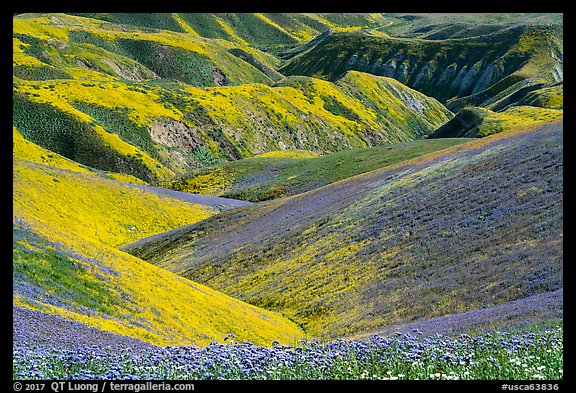Gully covered with yellow daisies and purple phacelia. Carrizo Plain National Monument, California, USA (color)