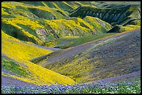 Gully covered with yellow daisies and purple phacelia. Carrizo Plain National Monument, California, USA ( )
