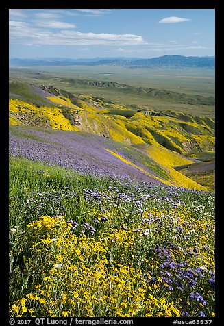 Field of hillside daisies and phacelia on Temblor Range hills above Carrizo Plain. Carrizo Plain National Monument, California, USA (color)