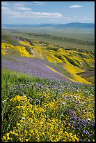 Field of hillside daisies and phacelia on Temblor Range hills above Carrizo Plain. Carrizo Plain National Monument, California, USA ( )