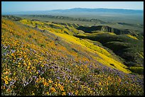San Joaquin blazing stars and phacelia on Temblor Range hills above valley. Carrizo Plain National Monument, California, USA ( color)