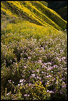 Wildflower mat and hillside slopes. Carrizo Plain National Monument, California, USA ( color)