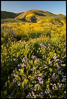 Foxtail grass and wildflowers, Temblor Range hills. Carrizo Plain National Monument, California, USA ( color)