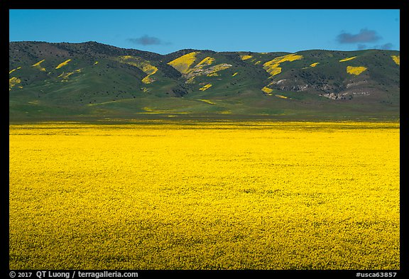 Wildflowers form solid yellow carpet below Caliente Range hills. Carrizo Plain National Monument, California, USA (color)