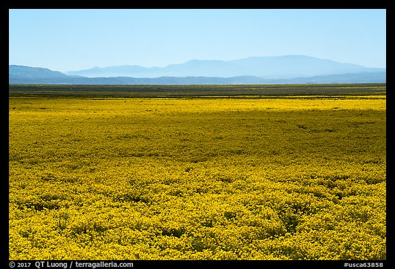 Dense carpet of yellow wildflowers on valley floor. Carrizo Plain National Monument, California, USA (color)