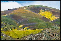 Hill with multicolored flower patches. Carrizo Plain National Monument, California, USA ( color)