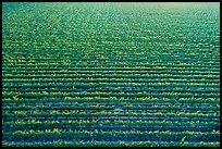 Aerial view of rows of vines in summer. Livermore, California, USA ( color)