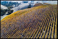 Aerial view of hillside rows of vines in autumn. Livermore, California, USA ( color)