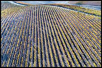 Aerial view of rows of vines on hill in autumn. Livermore, California, USA ( color)