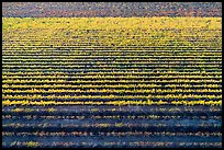 Aerial view of multicolored rows of vines in autumn. Livermore, California, USA ( color)