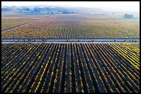 Aerial view of vineyards and hazy hills in autumn. Livermore, California, USA ( color)