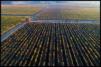 Aerial view of vineyards in autumn. Livermore, California, USA ( color)